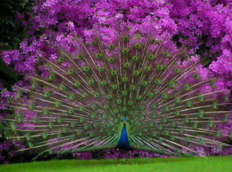 peacock!!!